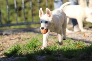 White-Shepherd-Puppies-BTWW-Sparta-03122019-017