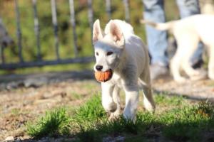 White-Shepherd-Puppies-BTWW-Sparta-03122019-018