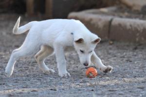 White-Shepherd-Puppies-BTWW-Sparta-03122019-019