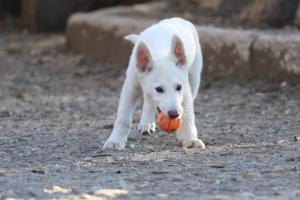 White-Shepherd-Puppies-BTWW-Sparta-03122019-020