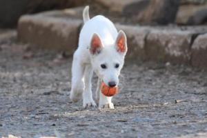 White-Shepherd-Puppies-BTWW-Sparta-03122019-021