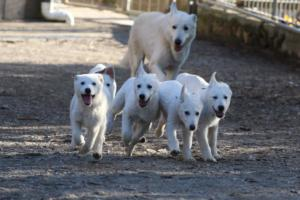 White-Shepherd-Puppies-BTWW-Sparta-03122019-022