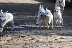 White-Shepherd-Puppies-BTWW-Sparta-03122019-023