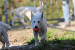 White-Shepherd-Puppies-BTWW-Sparta-03122019-024