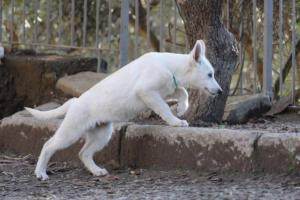 White-Shepherd-Puppies-BTWW-Sparta-03122019-025