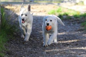 White-Shepherd-Puppies-BTWW-Sparta-03122019-026
