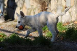 White-Shepherd-Puppies-BTWW-Sparta-03122019-027
