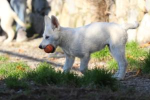 White-Shepherd-Puppies-BTWW-Sparta-03122019-028