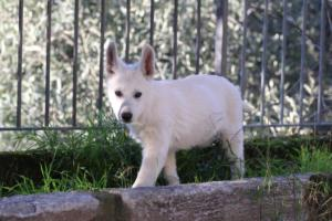 White-Shepherd-Puppies-BTWW-Sparta-03122019-029