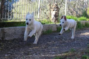 White-Shepherd-Puppies-BTWW-Sparta-03122019-030