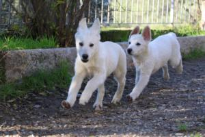 White-Shepherd-Puppies-BTWW-Sparta-03122019-031