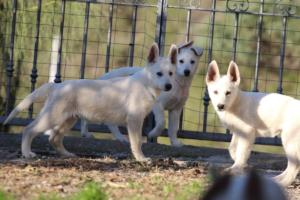 White-Shepherd-Puppies-BTWW-Sparta-03122019-032