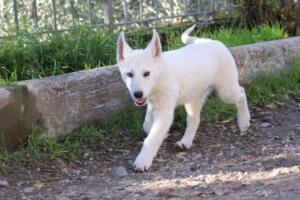 White-Shepherd-Puppies-BTWW-Sparta-03122019-033