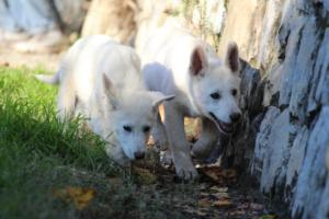 White-Shepherd-Puppies-BTWW-Sparta-03122019-034