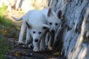 White-Shepherd-Puppies-BTWW-Sparta-03122019-035