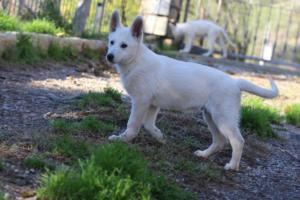 White-Shepherd-Puppies-BTWW-Sparta-03122019-036