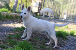 White-Shepherd-Puppies-BTWW-Sparta-03122019-037