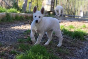 White-Shepherd-Puppies-BTWW-Sparta-03122019-038