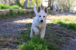 White-Shepherd-Puppies-BTWW-Sparta-03122019-039