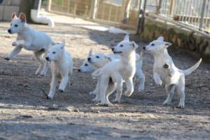 White-Shepherd-Puppies-BTWW-Sparta-03122019-040