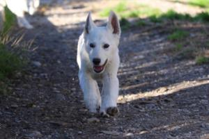 White-Shepherd-Puppies-BTWW-Sparta-03122019-041