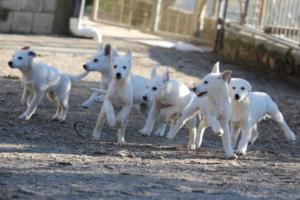White-Shepherd-Puppies-BTWW-Sparta-03122019-042