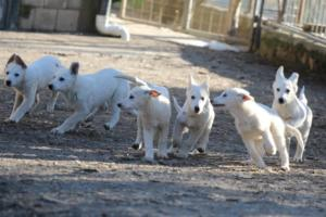 White-Shepherd-Puppies-BTWW-Sparta-03122019-043