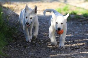 White-Shepherd-Puppies-BTWW-Sparta-03122019-044