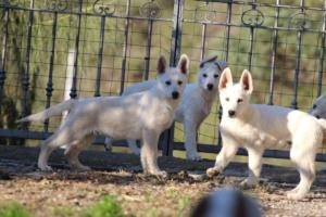 White-Shepherd-Puppies-BTWW-Sparta-03122019-045