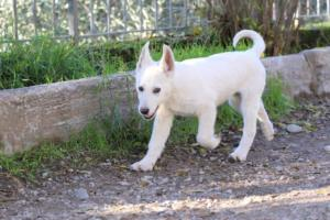 White-Shepherd-Puppies-BTWW-Sparta-03122019-046