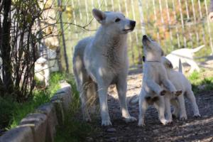 White-Shepherd-Puppies-BTWW-Sparta-03122019-047