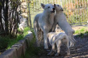 White-Shepherd-Puppies-BTWW-Sparta-03122019-048