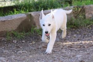 White-Shepherd-Puppies-BTWW-Sparta-03122019-049