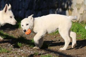 White-Shepherd-Puppies-BTWW-Sparta-03122019-051