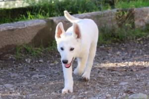 White-Shepherd-Puppies-BTWW-Sparta-03122019-053