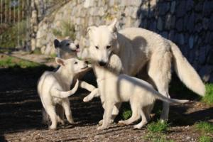 White-Shepherd-Puppies-BTWW-Sparta-03122019-054