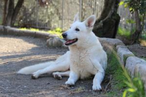 White-Shepherd-Puppies-BTWW-Sparta-03122019-055