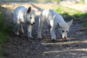 White-Shepherd-Puppies-BTWW-Sparta-03122019-056