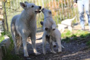 White-Shepherd-Puppies-BTWW-Sparta-03122019-057