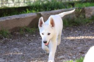 White-Shepherd-Puppies-BTWW-Sparta-03122019-058