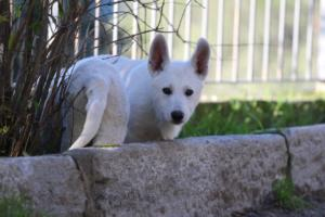 White-Shepherd-Puppies-BTWW-Sparta-03122019-059