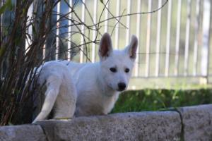 White-Shepherd-Puppies-BTWW-Sparta-03122019-060