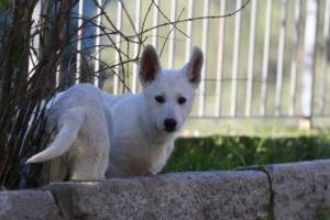 White-Shepherd-Puppies-BTWW-Sparta-03122019-061
