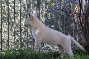White-Shepherd-Puppies-BTWW-Sparta-03122019-062