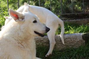 White-Shepherd-Puppies-BTWW-Sparta-03122019-063