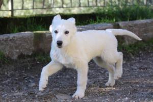 White-Shepherd-Puppies-BTWW-Sparta-03122019-064