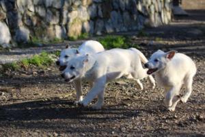 White-Shepherd-Puppies-BTWW-Sparta-03122019-065