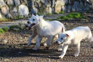 White-Shepherd-Puppies-BTWW-Sparta-03122019-066