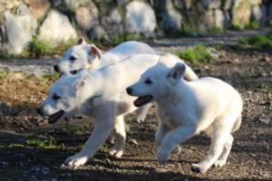 White-Shepherd-Puppies-BTWW-Sparta-03122019-067