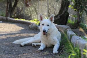 White-Shepherd-Puppies-BTWW-Sparta-03122019-068